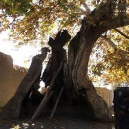 شناسنامه برای درختان کهنسال قشم