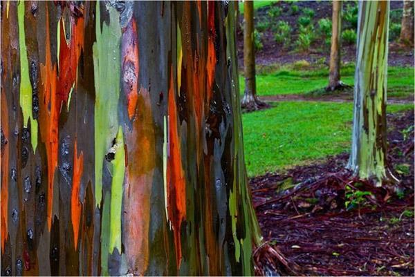 Rainbow Eucalyptus3