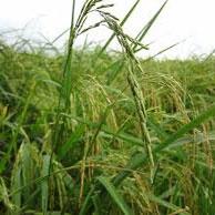 در خشکسالی هم میشود محصول خوب برنج داشت