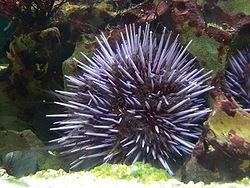 توتیای دریایی