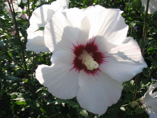 آشنایی با خواص گل ختمی؛ گیاه دارویی چندمنظوره