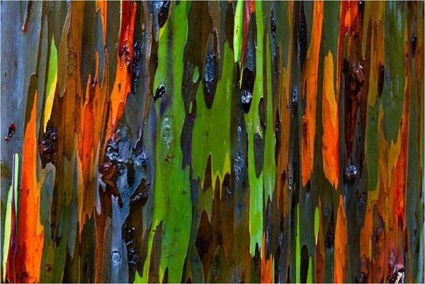 Rainbow Eucalyptus4