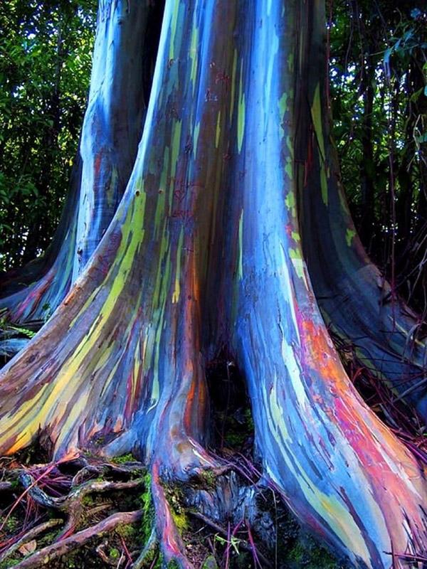 Rainbow Eucalyptus2