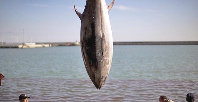هشدار درباره صید بیرویه ماهی تن در فیلیپین