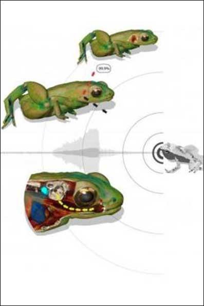 قورباغههایی که با دهانشان کار گوش را انجام میدهد