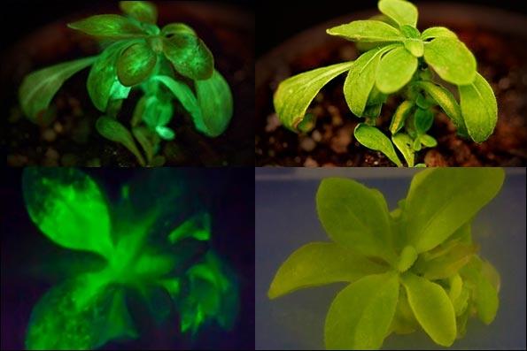 اولین گیاه شب تاب جهان