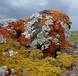 رشد گلسنگها با افزایش ریزگردها و مصرف کودهای شیمیایی تشدید میشود