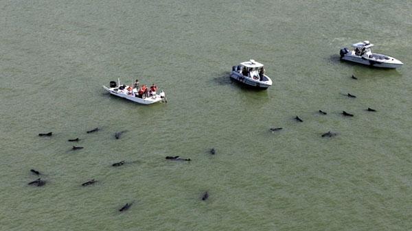 pilot whales found dead