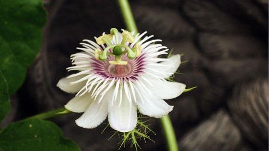 آشنایی با خواص گل ساعت؛ گیاه دارویی