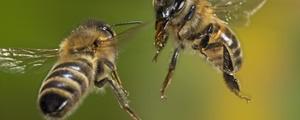 زنبورها تیم پزشکی دارند