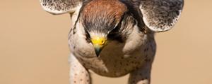 جراحی آبمروارید روی چشم پرنده شکاری