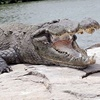 زن باردار در اوگاندا طعمه تمساح گرسنه شد