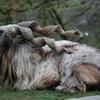 عکس روز: مارخور؛ حیوان ملی پاکستان
