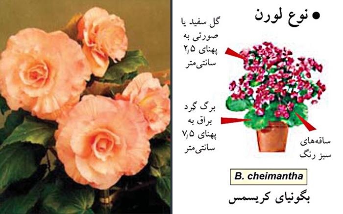 آشنایی با بگونیا Begonia
