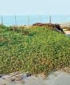 هشدار یک گیاهشناس نسبت به ورود گیاه مهاجم به طبیعت ایران