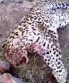 تشریح علت مرگ ۲ یوزپلنگ آسیایی