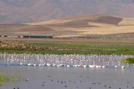 پرندگان مهاجر در تالابهای مهاباد فرود آمدند