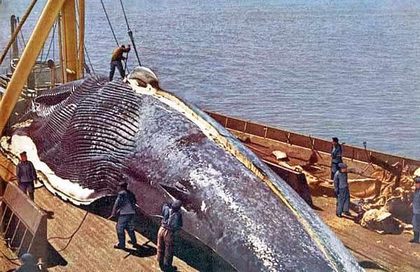 حمله دوباره صیادان نهنگ به گروه چوپان دریا