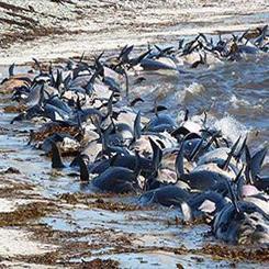 جسد ۴۰۰ دلفین در سواحل پرو