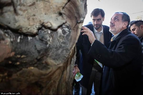 درخت کهنسال لویزان در بالکن پیچیده است؛ عکسها را ببینید