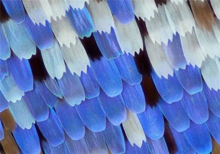 بال پروانه از نمای نزدیک