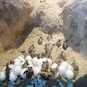 تخمگذاری لاک پشتهای سبز سیستان و بلوچستان