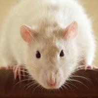 بازیابی حافظه موشهای مبتلا به آلزایمر