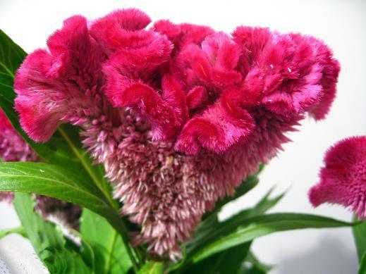 آشنایی با خواص گل تاج خروس