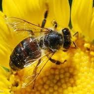 ثبت بیش از ۵ هزار پرواز متفاوت زنبور عسل