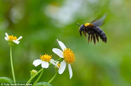 کلوزآپ زنبورها در حال گردهافشانی