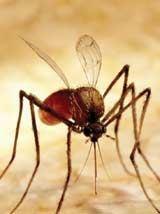 توفیق دانشمندان در منقرض کردن نسل پشههای آنوفل