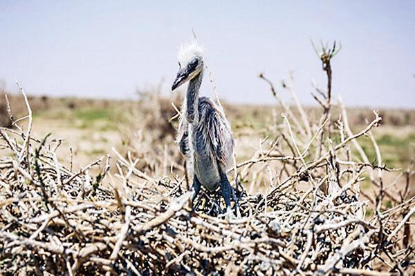 مرگ پرندگان مهاجر از تشنگی در هامون
