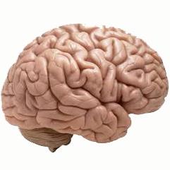 مغزهای بزرگتر بهتر میبینند