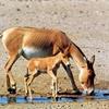 ۳رأس گورخر ایرانی در پارک ملی توران متولد شدند