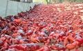 فرش قرمزی از ۱۲۰ میلیون خرچنگ