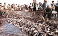 خطر پرورش ماهی تیلاپیا برای محیطزیست ایران