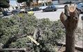 شورای شهر قطع ۱۲۰ درخت در غرب تهران را پیگیری میکند