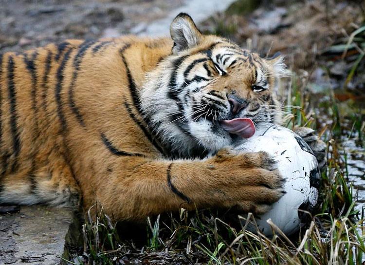 tiger۳