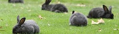 هجوم خرگوشهای وحشی به پایتخت استرالیا