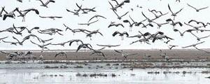 پرندگان تالاب