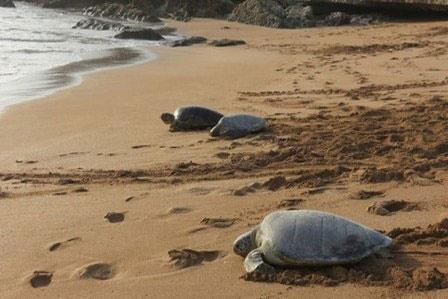 معرفی جزیره شیدور ایران برای ثبت جهانی به عنوان زیستگاه لاکپشتهای دریایی