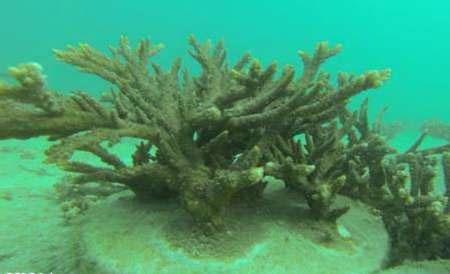 ۴۳ درصد از آبسنگهای مرجانی جزیره کیش سفید شدند