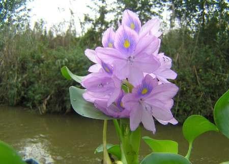 سنبل آبی برای اکوسیستم طبیعی زیانبار است