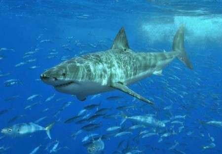 تغییر اقلیمی کوسه ماهیها را نیز تهدید میکند