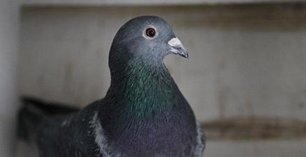 کشف قدرت عجیب کبوترها در تشخیص نسوج سرطانی