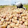 ماموریت ویژه سازمان بازرسی کشور برای رسیدگی به دفن ۱۷۰۰ تن سیبزمینی