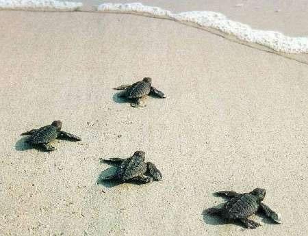 رهاسازی بچه لاکپشتهای تازه به دنیا آمده در دریای عمان