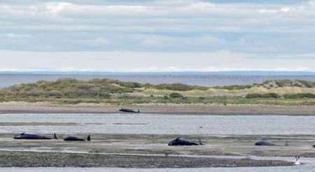 مرگ دسته جمعی ۳۳۷ نهنگ در سواحل شیلی