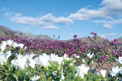 فرش گل در بیابان