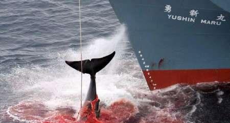 شکار والها توسط ژاپن و اعتراض ۳۳ کشور